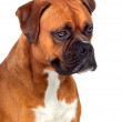 Beautiful Boxer dog — Stock Photo #13576058