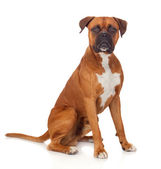 Beautiful Boxer dog — Stock Photo