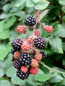 Mulberry tree with ripe berries — Stock Photo