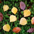 Autumn leaves on green moss — Stock Photo