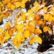 Beautiful snowy branch with yellow leaves — Stock Photo