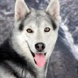 Beautiful siberian dog — Stock Photo