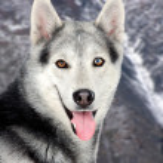 Beautiful siberian dog — Stock Photo
