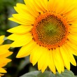 Image of beautiful sunflowers — Stock Photo