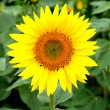 Nice picture of a sunflower — Stok fotoğraf