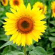 Nice picture of a sunflower — Stock Photo