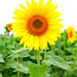 Image of beautiful sunflower — Stockfoto