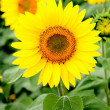 Image of beautiful sunflower — 图库照片