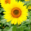 Image of beautiful sunflower — Stock fotografie