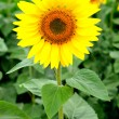 Image of beautiful sunflower — Foto Stock