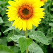 Image of beautiful sunflower — Stock Photo