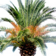 Big palm tree with green leaves — Stock Photo