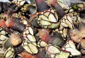 Juicy Galician barnacles cooked — Stock Photo