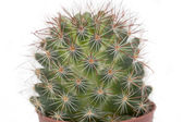 Thorny cactus plant isolated — Stock Photo