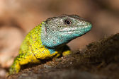 Nice yellow and blue lizard  — Stock Photo