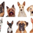 Photo collage of different breeds of dogs — Stock Photo #47372727