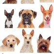Photo collage of different breeds of dogs — Stock Photo #47372851