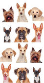 Photo collage of different breeds of dogs — Stock Photo