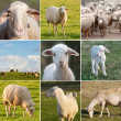 Many photos of sheeps on the field — Stock Photo #49053485