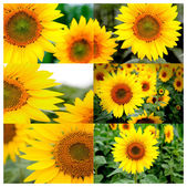 Collage of many yellow sunflowers — Stock Photo
