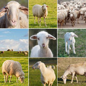 Many photos of sheeps on the field — Stock Photo