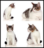 Collage of a beautiful grey cat  — Stok fotoğraf