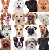 Collage with many dogs  — Stock Photo