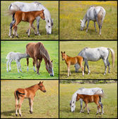 Collage of horses with foals   — Stock Photo