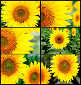 Many images with sunflowers — Stock Photo