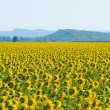 Sunflower field, Provence, France, shallow focus — Stock Photo