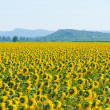 Stock Photo: Sunflower field, Provence, France, shallow focus