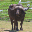 Buffalo at amboseli national park, kenya - Stock Photo