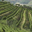 Stock Photo: Wine terraces