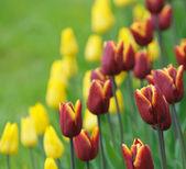 Tulipani rossi, messa a fuoco molto superficiale — Foto Stock