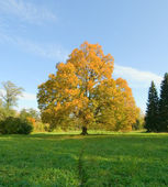 Autunm landscape, yellow tree in a green field — Stock Photo