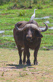 Buffalo at amboseli national park, kenya — Stock Photo