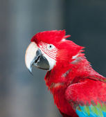 Close up image of red parrot — Stock Photo