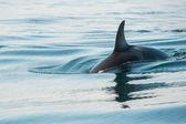 Balena orca — Foto Stock