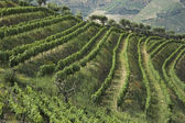 Wine terraces — Stock Photo