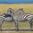 Two zebras, masai mara, kenya - Stok fotoraf