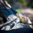 Close-up of ground squirrel - Stockfoto