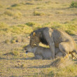 Mating lions — Stock Photo #17150301