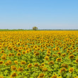 Sunflower field, Provence, France, shallow focus — Stock Photo #17150515