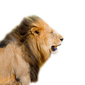 Lion's head isolated — Stock Photo