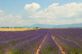 Lavender field, Provence, France — Stock Photo
