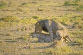 Apareamiento de leones — Foto de Stock