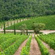 Vineyard in Chianti, Tuscany — Stock Photo