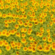 Sunflower field, shallow focus — Stock Photo