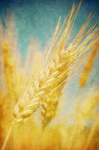 Grunge image of wheat field — Stock Photo