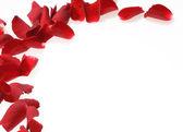 Rose petals on white background — Stok fotoğraf